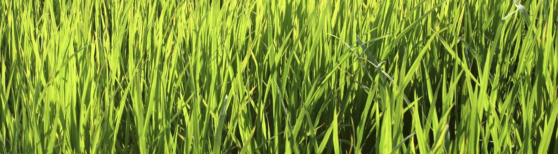 ABC Rice